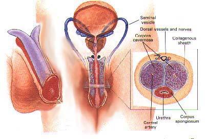 Male Enhancement Anatomy